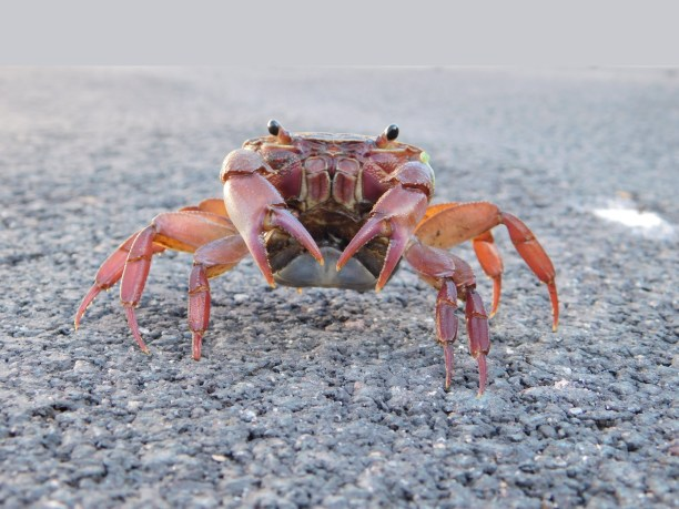 Land crab on the driveway