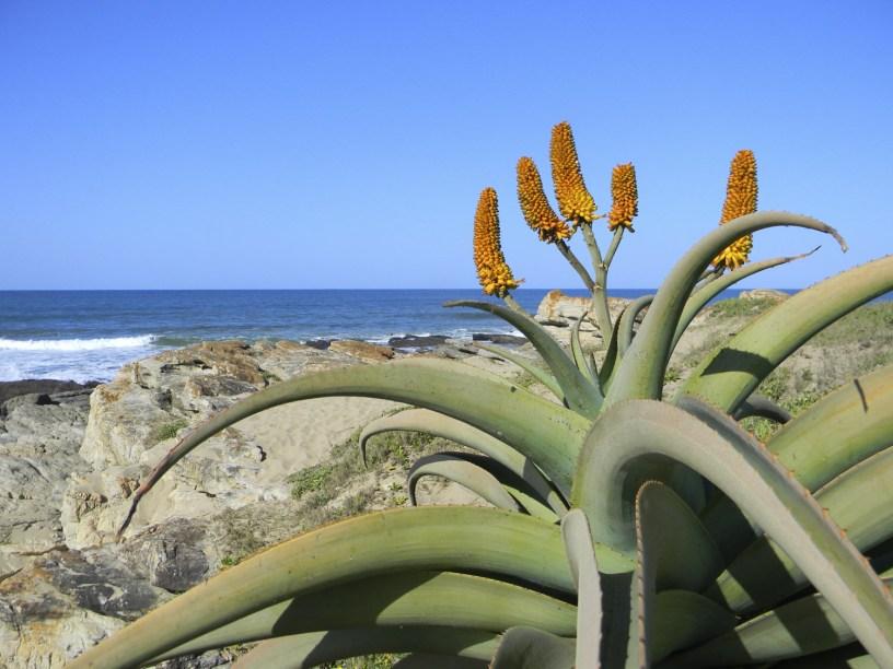 Aloe in Sea Park, KwaZulu-Natal