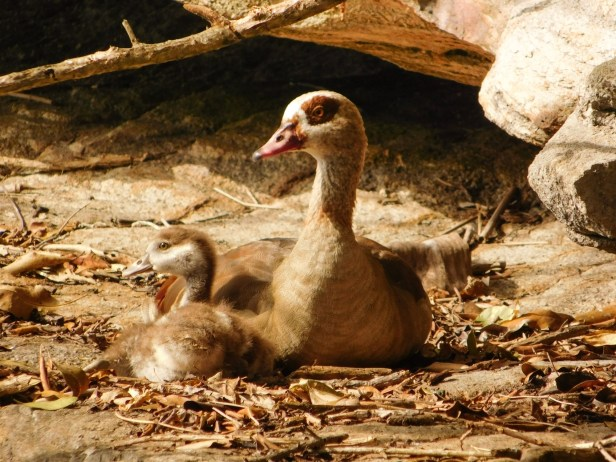 Egyptian geese - mother and gosling on the river bank catching the first rays of the winter morning sun
