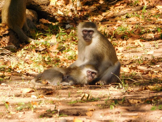 Vervet monkeys grooming each other in the sun