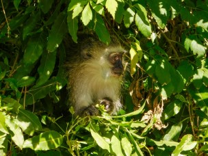 Vervet monkeys 1