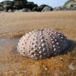 Sea urchin without spines
