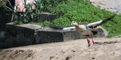 Epyptian goose - kolgans