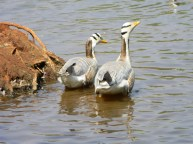 Treehaven Waterfowl Bird Park wild geese
