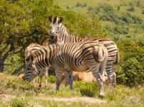 Zebra in the Lake Eland Nature Reserve, Oribi Gorge, KwaZulu-Natal