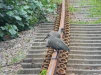 Hadedas on the train tracks
