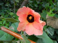 Orange hibiscus growing next to an abandoned railway line