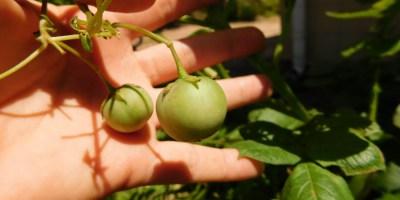 """""""Tamaties"""" aan die aartappelplant"""