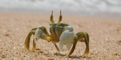 Ghost crab at Umzumbe Beach, KwaZulu-Natal