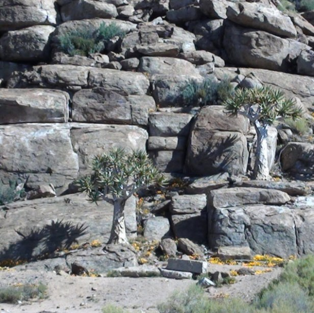 Kokerbome wat groei tussen die klippe