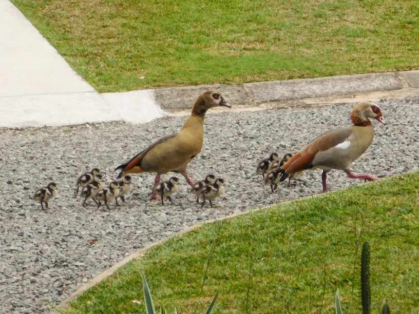 Egyptian Geese parents and twelve goslings