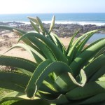 Aloes at Umtentweni Beach