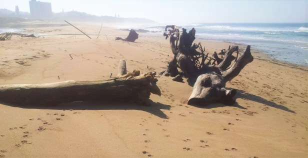 Driftwood at Mtemtweni river mouth