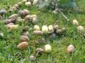 GD: Laat niet onder eiken grazen