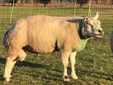 schapendieven