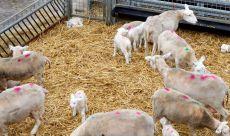 NVWA: Geen grote welzijnsrisico's bij schapen
