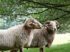 rammen van Herders van Balloo worden in juli geschoren