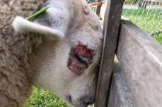 huidafwijking schaap