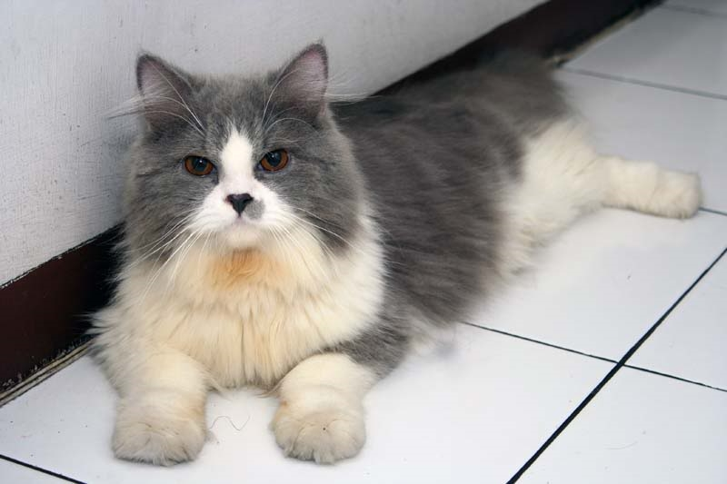Foto Kucing Persia Medium 1
