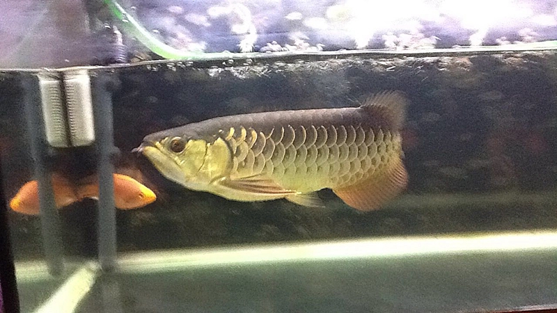 Red Tail Golden Arwana