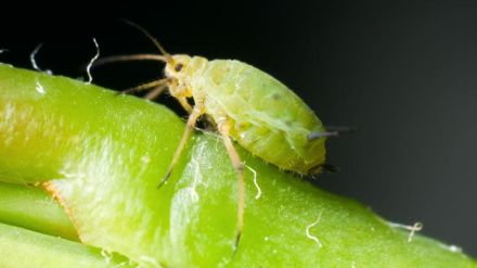 Aphid (3)