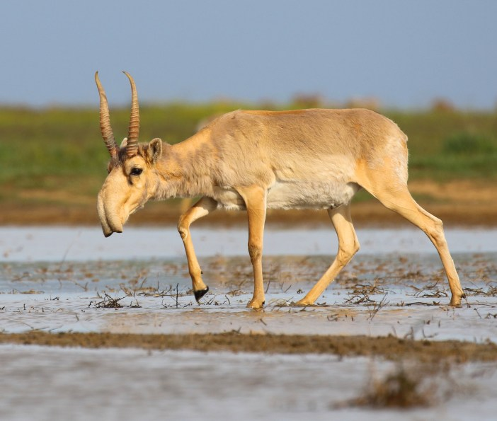 Saiga_antelope_at_the_Stepnoi_Sanctuary