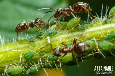 natural-aphid-control-3