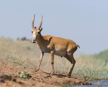 saiga-antelope-facts
