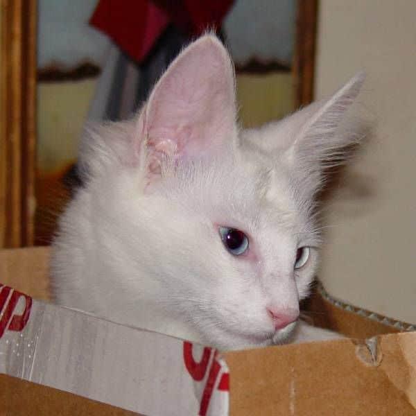 kucing-angora-turkish