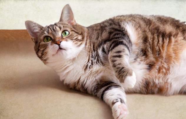 Makanan Kucing Agar Kucing Gemuk Dan Sehat Binatang