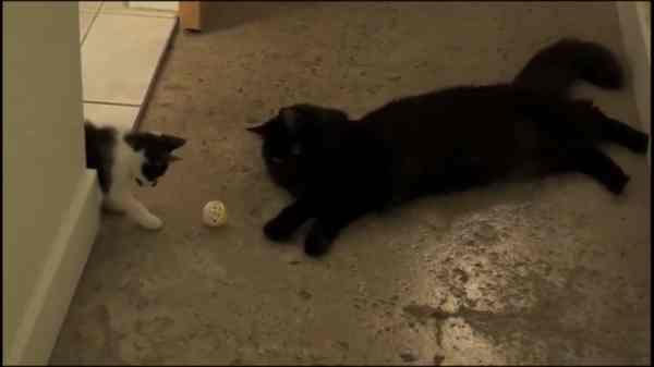 mengenalkan-kucing-baru-dengan-kucing-lama