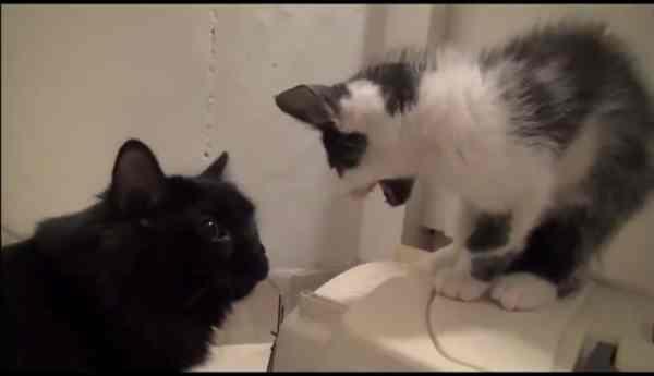 mengenalkan-kucing-baru-pada-kucing-lama