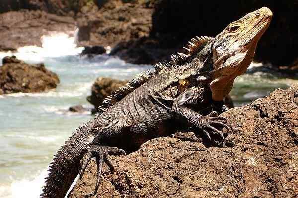 jenis-Iguana-ekor-berduri-Ctenosaura