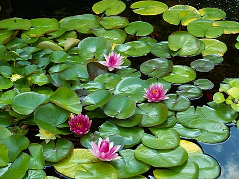 Water Pond Flowers