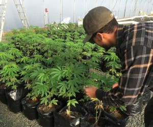 startup-marijuana-farm-599x395