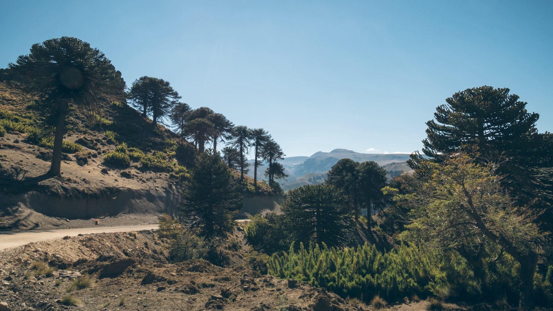 On circule entre les majestueux Araucarias