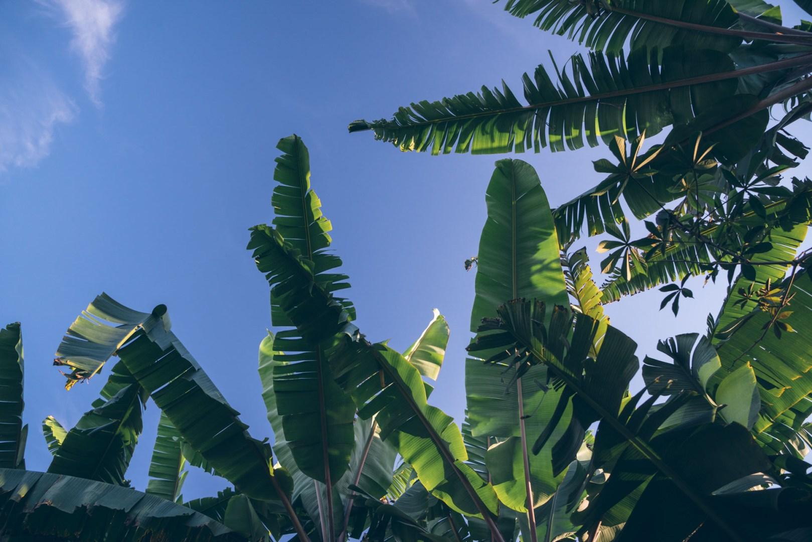 Des grandes feuilles pour de l'ombre