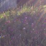 late august wildflowers