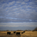 Is grass-fed beef really better for you, the animal and the planet?