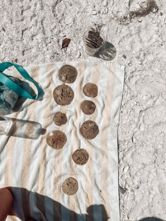 sand dollars, shelling tigertail beach, shell bag where to go on Marco Island