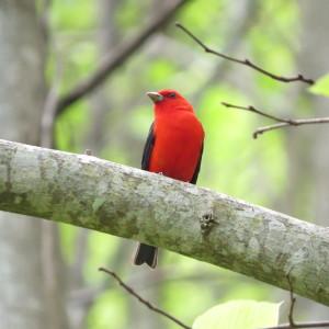 spring-wildflower-pilgrimage-gatlinburg-scarlet-tanager-heysmokies