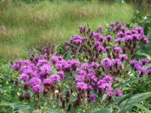 ironweed-heysmokies