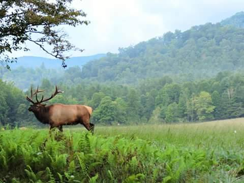 All you need to know about elk viewing in smoky mountains national park