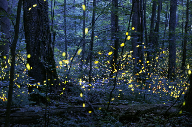 Image result for great smoky mountains fireflies 2018