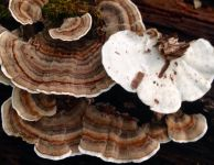 Top and underside of Turkey Tail mushroom. Photo credit - Jennifer M
