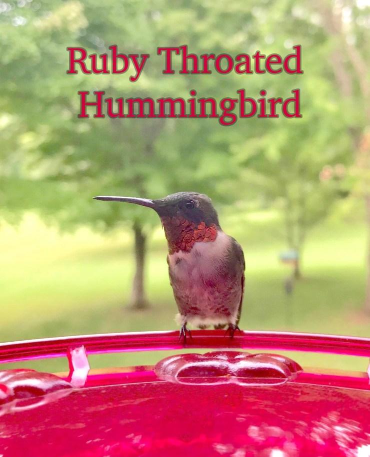 A male ruby throated hummingbird enjoying a feeder station.