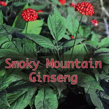 Smoky Mountain Ginseng, miracle plant, facto or fiction?