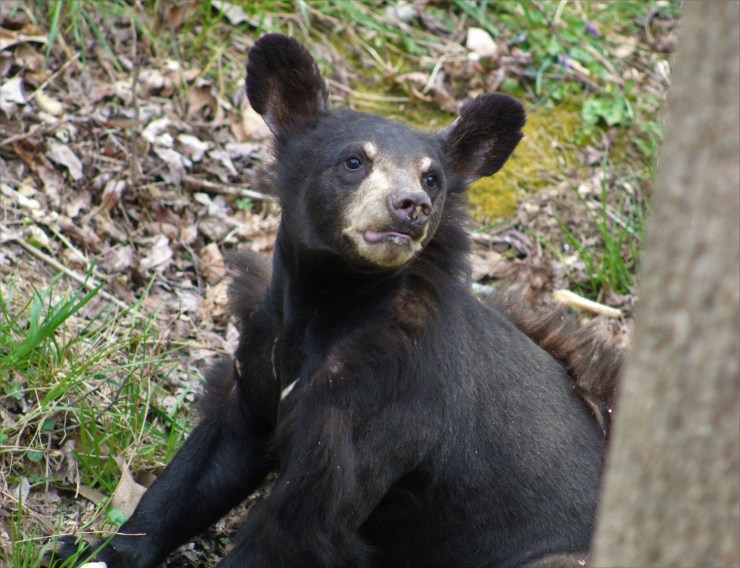 Hartely is one of the many bears rescued by Appalachian Bear Rescue.