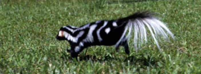 Watch out for the spotted skunk when you visit the Smokies! Photo credit - KWCH