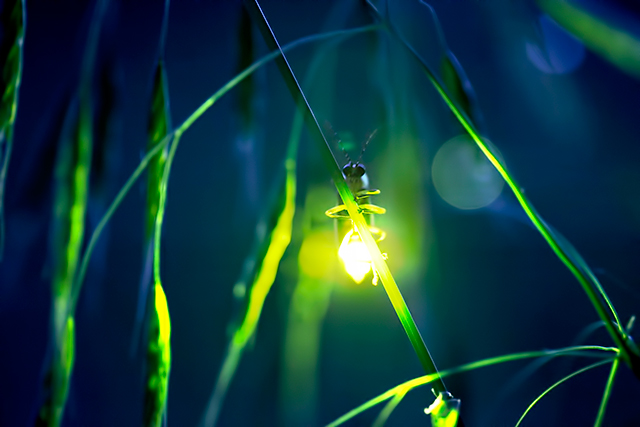 Smoky Mountain synchronous fireflies are a site to behold!